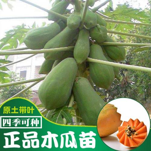 木瓜苗种植户_如何种植繁衍木瓜技术咨询