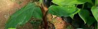 广西香蕉苗品种大全