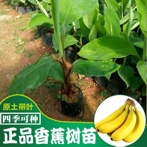钦州香蕉苗如何修剪