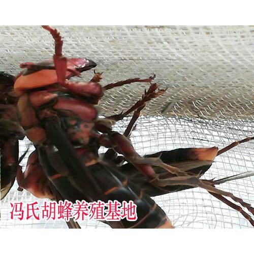 胡蜂养殖招收学员