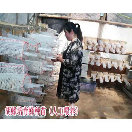 冯氏胡蜂养殖基地价格_胡蜂养殖技术公开资料
