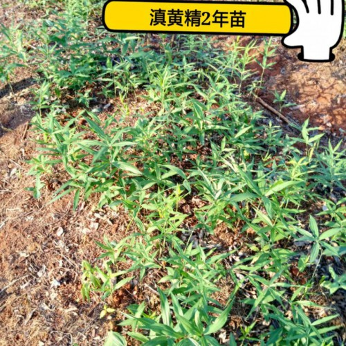 2年红花滇黄精籽育苗