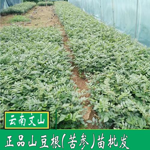 山豆根苗_广西南宁市上林县价格400元/斤