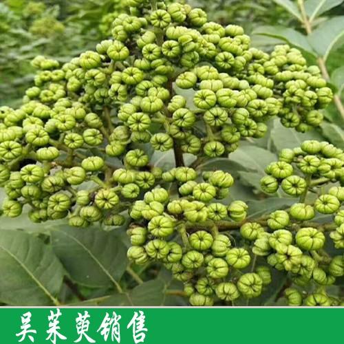 吴茱萸苗栽培技术关键点有什么?