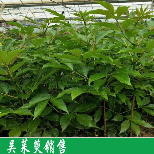 吴茱萸苗好多钱一棵?栽种1亩吴茱萸必须几个颗吴茱萸苗?