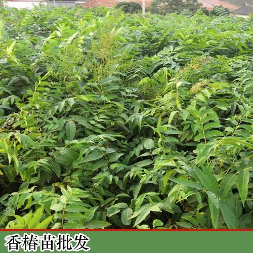 香椿的增产种植及挤压成型工艺关键点