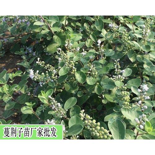 单叶蔓荆子苗3种种植繁育方法(种子直播/枝条扦插/枝条埋栽)