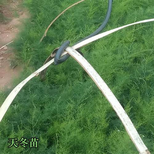 天冬栽培技术_天冬1亩价值好多钱,天门冬栽种的常见问题