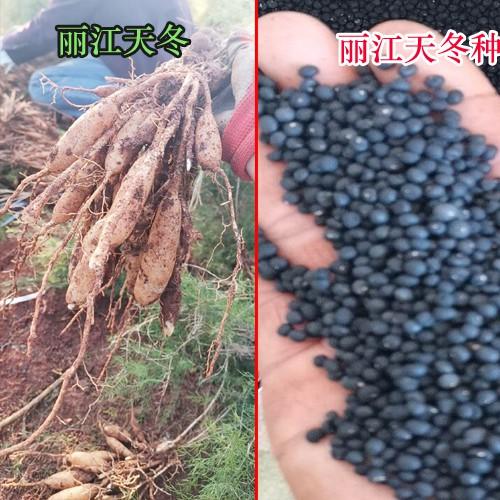 天冬完整种植技术资料.大天冬种苗,种苗批发培育