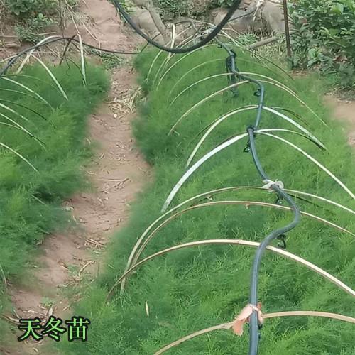 天门冬繁育要用纤插法,分植几株种苗种子技术