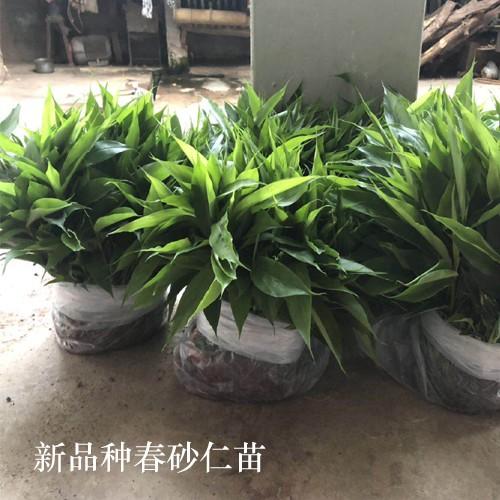 阳春砂仁苗栽种方式