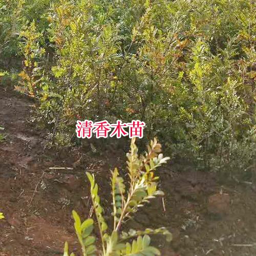 清香木产地在哪里(附图)