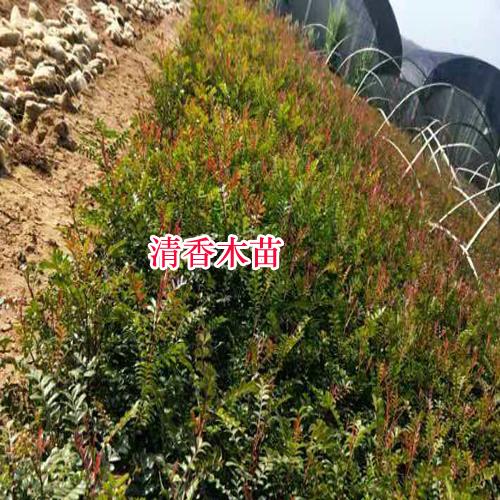 清香木的原生地在云南等地(附图)