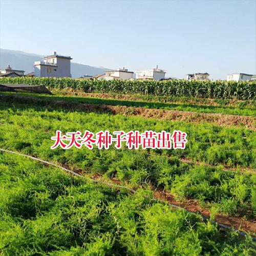 云南大天冬种子种苗_云南大天冬程海种植基地价格多少钱一斤