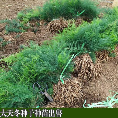 云南大天冬种子种苗_云南大天冬程海种植基地种子成熟时间