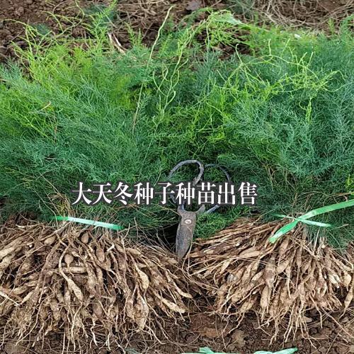 大天冬种子种苗,云南大天冬程海种植基地