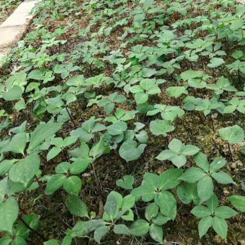 独角莲也叫七叶一枝花,七叶一枝花种苗的供求信息价格