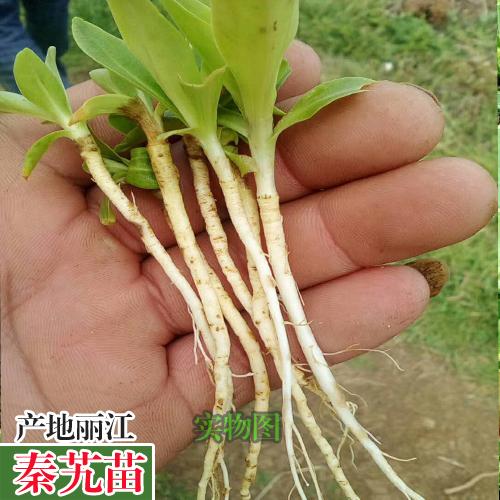 秦艽又叫秦爪,左秦艽苗木种植,大叶龙胆的种植技术