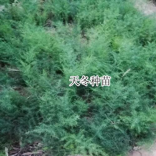 天冬苗照片_出售天冬苗联系方式杨先生15894399481