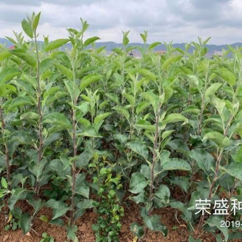 云南哪里有矮化优质苹果苗_矮化苹果树种植技术