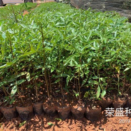 2019年6.11花椒苗要多少钱一株?麻椒市场走势如何?价钱多少钱一吨?