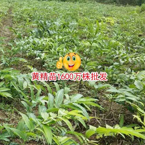 栽种黄精怎样才能增产,黄精苗市场批发