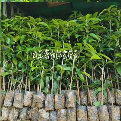 芒果品种有哪些特点_芒果种类大全_台农芒苗袋苗价格