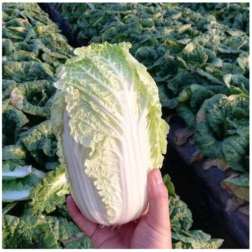 白菜种子种类及栽种方式