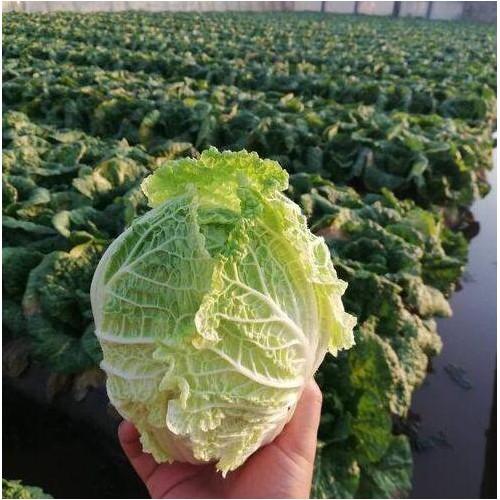云南省白菜多少钱每斤?和一般白菜有什么不同?