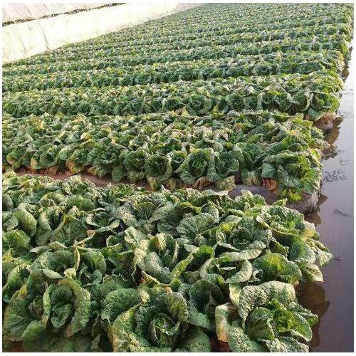 白菜的种植技术和時间详细介绍!