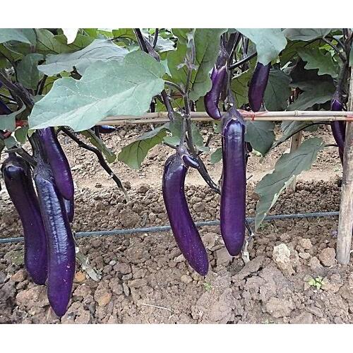 栽种茄子均值亩产量能达多少?_20000斤上下
