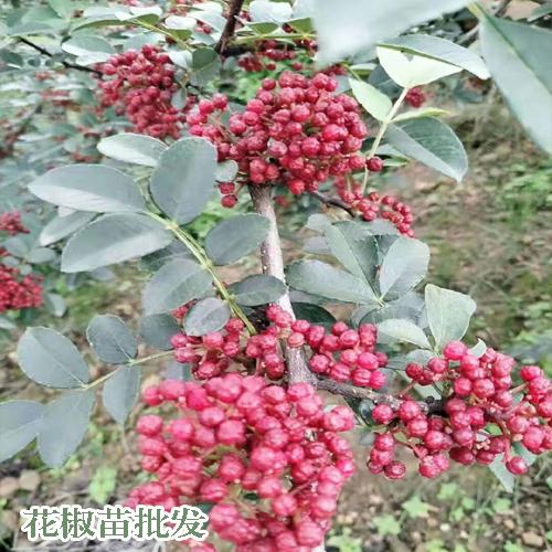 花椒在云南合适什么地域栽种?