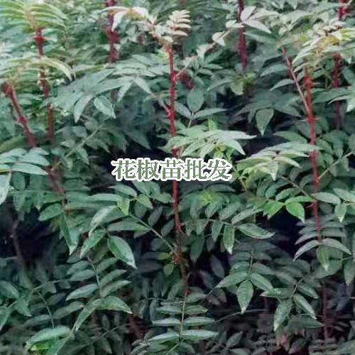 花椒苗_花椒的栽种時间与方式 -昭通顺园苗木有限公司