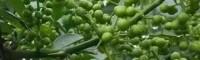 云南花椒种植市场前景怎么样?花椒种植经济效益分析