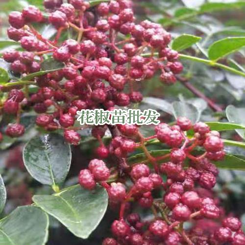 红花椒苗_红花椒苗图片_云南红花椒苗基地种苗照片