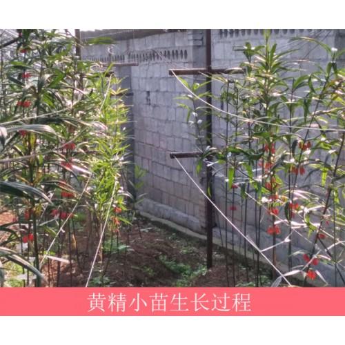 黄精红花苗多少钱一吨?栽种1亩黄精必须是多少斤黄精红花苗?