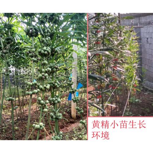 种植黄精种子一亩需要多少种子?