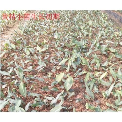 黄精的种植技术_云南黄精的种植技术资料_富源黄精种植小苗图片