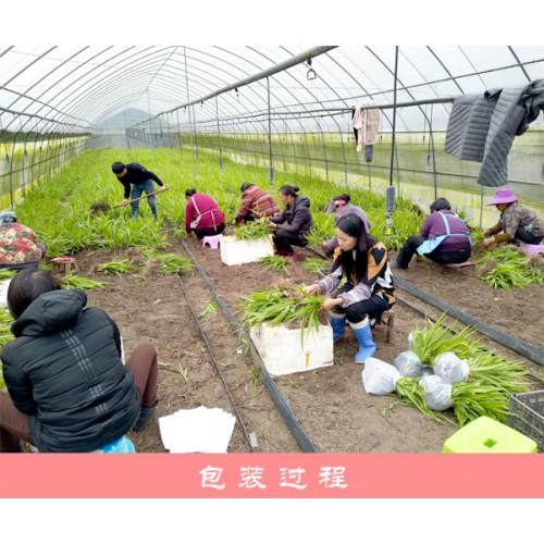 白芨种苗_云南三叉白芨驯化苗销售公司图片