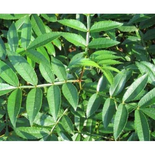 花椒树苗的价格_云南,四川花椒苗的价格_花椒树苗的种类