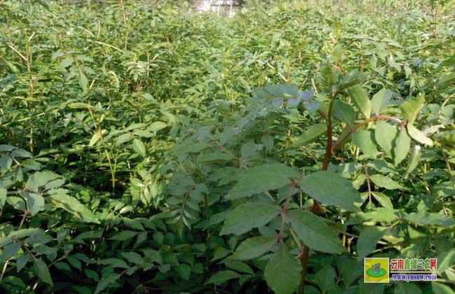 花椒树苗的价格和种类及其种植技术