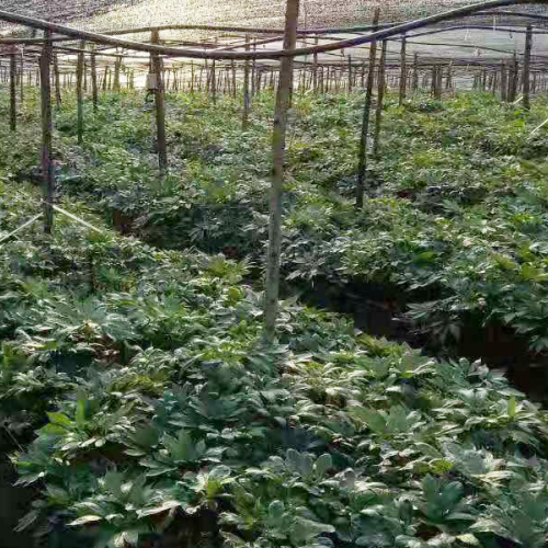 低价三七苗_种子\种子消毒方法