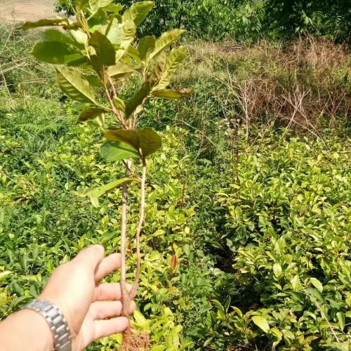大树茶苗&近期哪里有大树茶苗销售价格是多少?