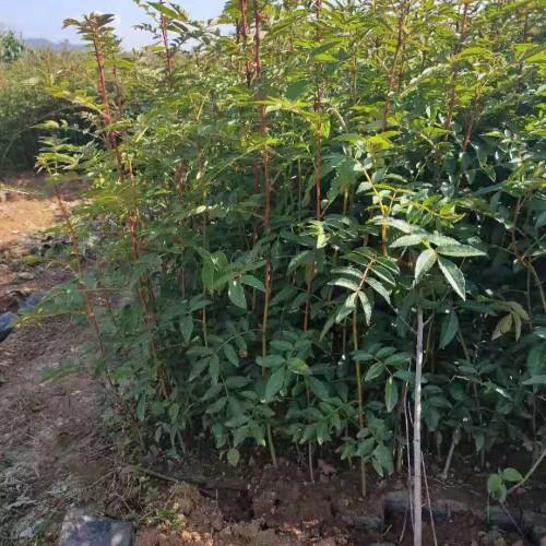 40--50公分大红袍花椒袋苗&九叶青花椒苗