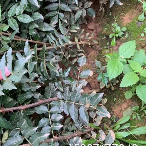 60cm的大红袍花椒价格