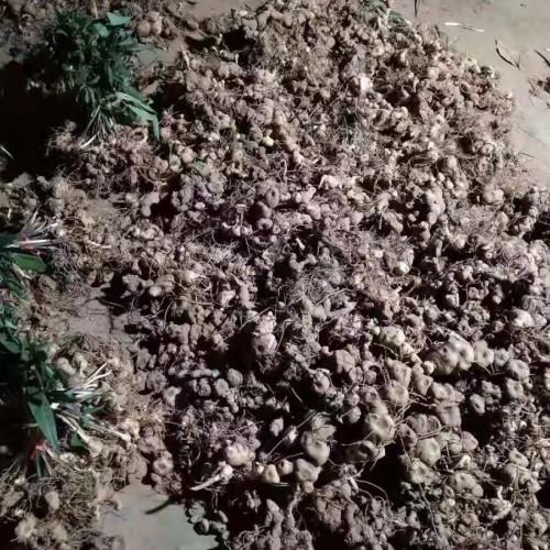 滇黄精苗/老虎姜苗多少钱?黄精的种植前景如何?
