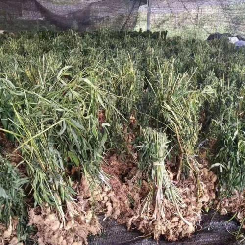 老虎姜种子什么时候种&滇黄精苗/老虎姜苗多少钱