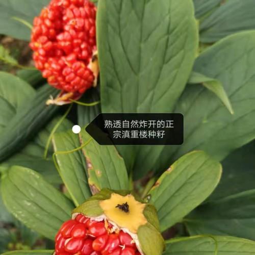 亳州市场三七行情回调/重楼种子销售信息