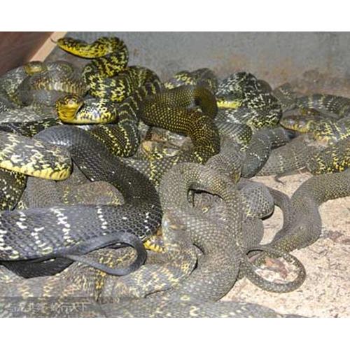 大王蛇怎么进行养殖