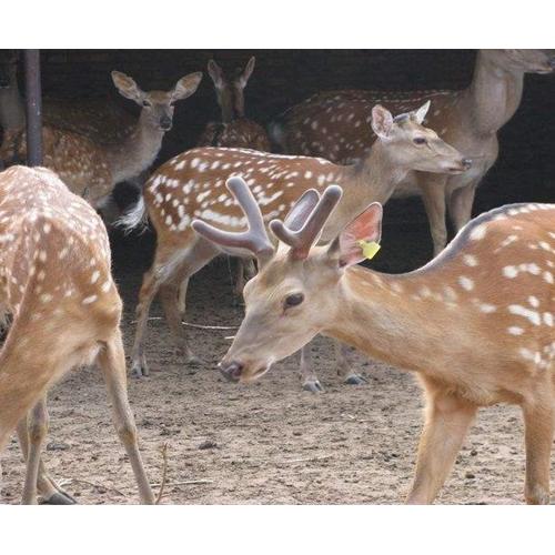 鹿茸养殖效益怎么样?